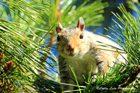 Squirrel in the Pines