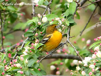 Baltimore Oriole Foraging amid the Flowers 2