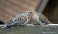 Mourning Dove Courtship
