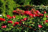 Red Roses in the Sun