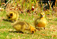 Downy Goslings